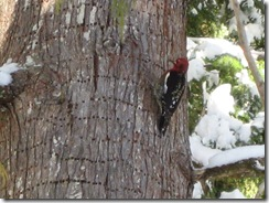 01-14-07 Red Woodpecker 003