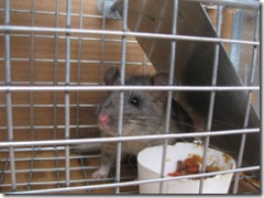 11-11-07 Pack Rat captured 007